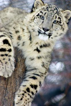 Snow Leopard by Lantern Press