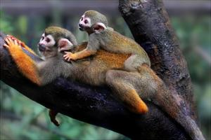Squirrel Monkey and Baby by Lantern Press