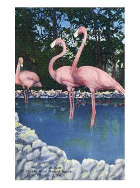 St. Petersburg, Florida, View of Pink Flamingos at Florida Wild Animal Ranch by Lantern Press