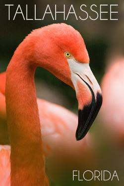 Tallahassee, Florida - Flamingo Up Close by Lantern Press