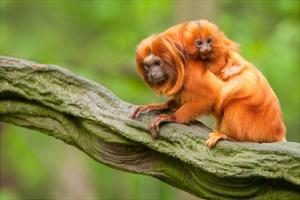 Tamarin Monkey and Baby by Lantern Press