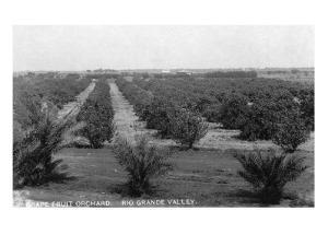 Texas - Rio Grande Valley Grapefruit Orchard by Lantern Press