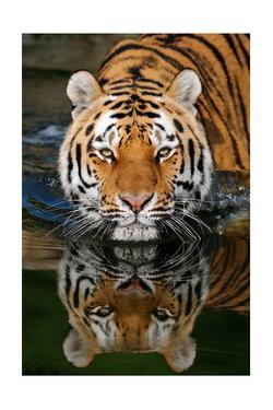 Tiger Reflection by Lantern Press
