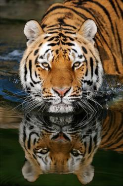 Tiger Reflection by Lantern Press