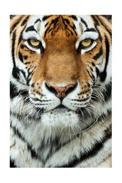 Tiger Up Close by Lantern Press