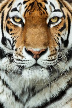 Tiger Up Close by Lantern Press