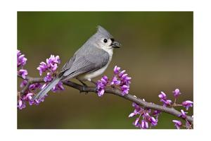 Tufted Titmouse by Lantern Press