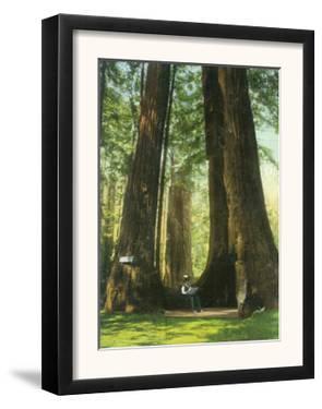 View of Redwood Twins at Big Tree Grove - Santa Cruz, CA by Lantern Press