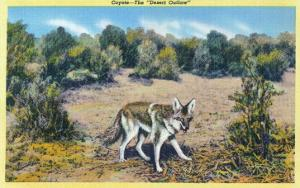 View of the Desert Outlaw, the Coyote by Lantern Press