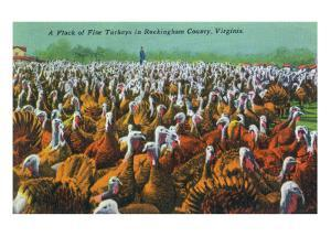 Virginia - Rockingham County Turkey Flock by Lantern Press