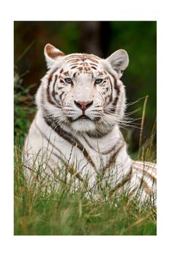 White Tiger in Grass by Lantern Press