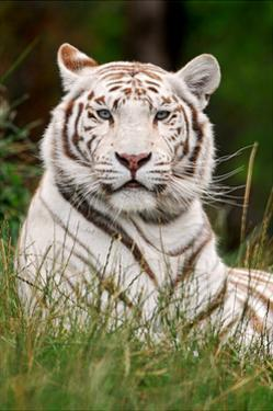 White Tiger in Grass by Lantern Press
