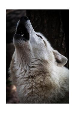 Wolf Howling by Lantern Press