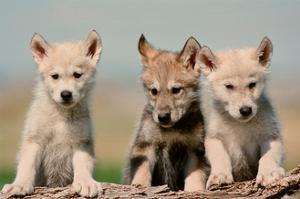 Wolf Pups by Lantern Press