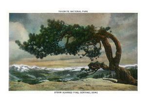 Yosemite Nat'l Park, California - Storm Scarred Pine on Sentinel Dome by Lantern Press