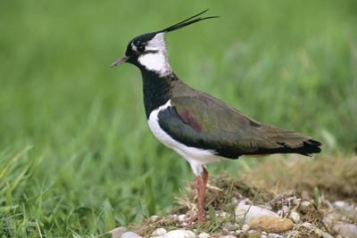 Lapwing Male in Breeding Territory