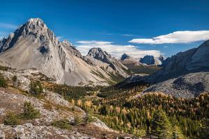 Larch trees in autumn, Burstall Pass, Mt. Burstall, Rocky Mountains, Alberta, Canada