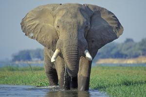 Large African Elephant Bull Feeding Along The
