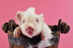Large White Cross Piglet in Bucket with Bubbles