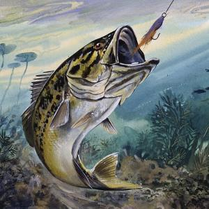 Largemouth Bass or Black Bass (Micropterus Salmoides), Centrarchidae
