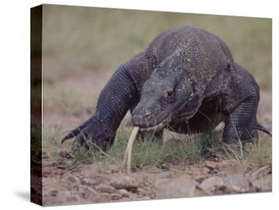 """Monitor Lizard, Called the """"Komodo Dragon"""", on the Island of Flores"""