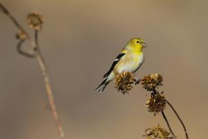 American Goldfinch Feeding on Sunflower Seeds by Larry Ditto