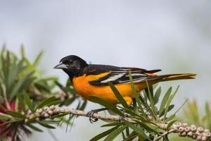 Baltimore Oriole Male Perched by Larry Ditto