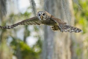 Barred Owl (Strix varia) in bald cypress forest on Caddo Lake, Texas by Larry Ditto