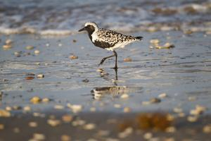 Black-bellied plover walking on wet beach. by Larry Ditto