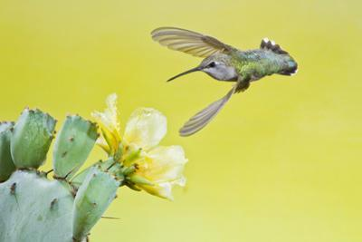 Black-Chinned Hummingbird Female Feeding at Prickly Pear Cactus Flowers, Texas, USA by Larry Ditto