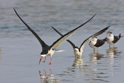 Black Skimmers, Bird on the Laguna Madre, Texas, USA by Larry Ditto