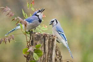 Blue jay (Cyanocitta cristata) adults on log with acorns, autumn, Texas by Larry Ditto