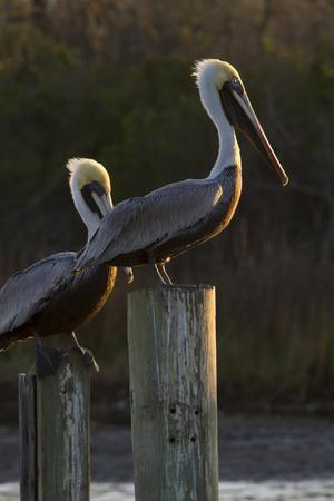 Brown Pelican Bird Sunning on Pilings in Aransas Bay, Texas, USA