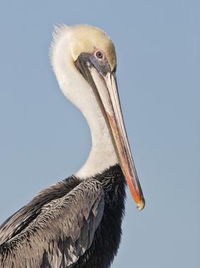Brown Pelican (Pelecanus Occidentalis) Perched at Goose Island State Park, Aransas Co., Texas, Usa by Larry Ditto