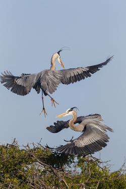 Calhoun County, Texas. Great Blue Heron, Ardea Herodias, Displaying by Larry Ditto