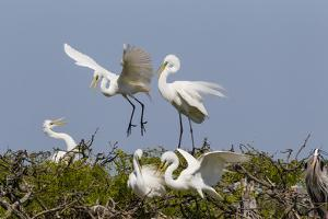 Calhoun County, Texas. Great Egret at Colonial Nest Colony by Larry Ditto
