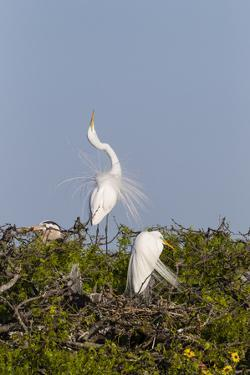 Calhoun County, Texas. Great Egret Displaying Plume Feathers by Larry Ditto