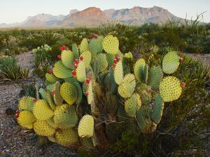 Chisos Mountains and Prickly Pear Cactus, Big Bend National Park, Brewster Co., Texas, Usa by Larry Ditto