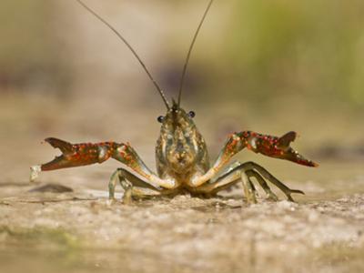 Crayfish (Cambarus Sp.) Defense Posture, Kendall Co., Texas, Usa