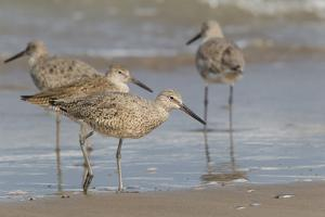 Galveston Island, Texas. Willet Flock on Texas Gulf Coast Beach by Larry Ditto