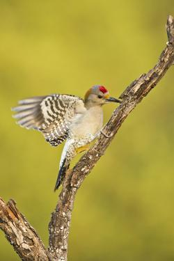 Golden-Fronted Woodpecker Bird, Male Perched in Native Habitat, South Texas, USA by Larry Ditto