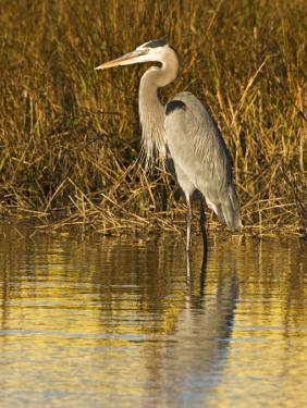 Great Blue Heron Standing in Salt Marsh on the Laguna Madre at South Padre Island, Texas, USA by Larry Ditto