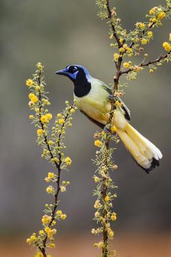 Green jay perched. by Larry Ditto