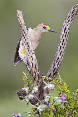 Hidalgo County, Texas. Golden Fronted Woodpecker in Habitat by Larry Ditto