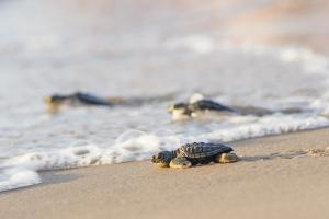 Kemp's Ridley Sea Turtle hatchling by Larry Ditto