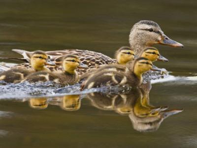 Mallard Duck and Chicks Near Kamloops, British Columbia, Canada