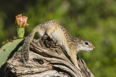 Mexican Ground squirrel climbing log by Larry Ditto