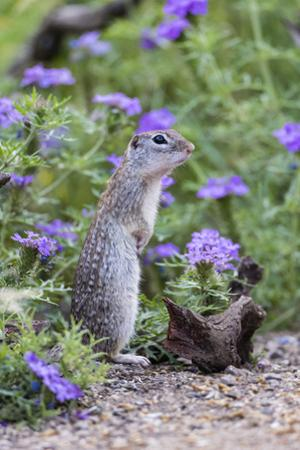 Mexican Ground squirrel in wildflowers by Larry Ditto
