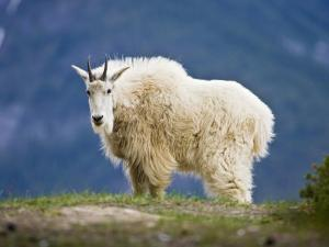 Mountain Goat, Jasper National Park, Alberta, Canada by Larry Ditto