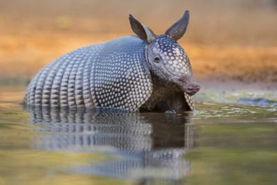 Nine-banded Armadillo, Dasypus novemcinctus, bathing and drinking by Larry Ditto